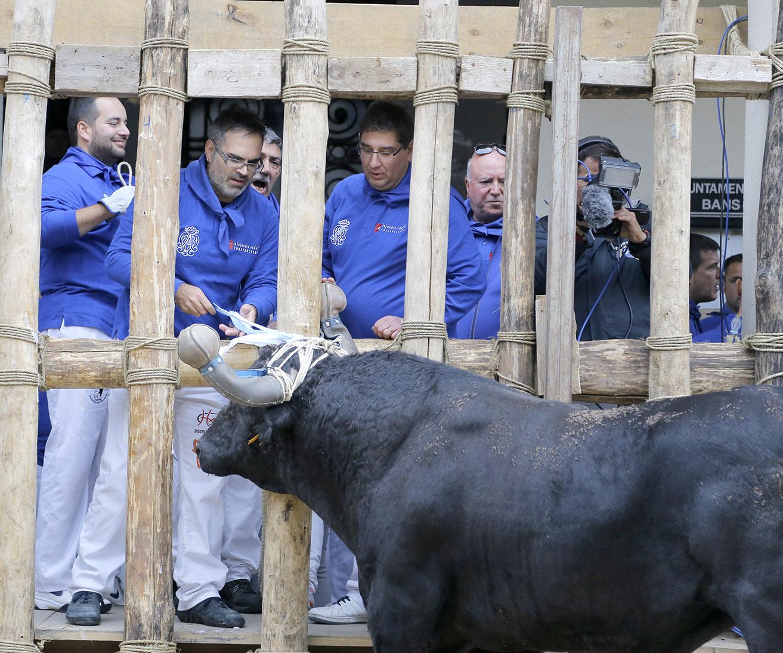El Bou en Corda, primera parada de les festes de la Puríssima El Periòdic d'Ontinyent