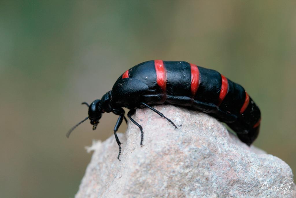 La cuca papera, l'escarabat que causa alarma El Periòdic d'Ontinyent - Noticies a Ontinyent