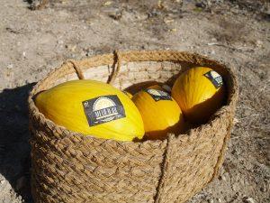 Una bona campanya de Meló d'Or espera recol·lectar 15.000 kg El Periòdic d'Ontinyent