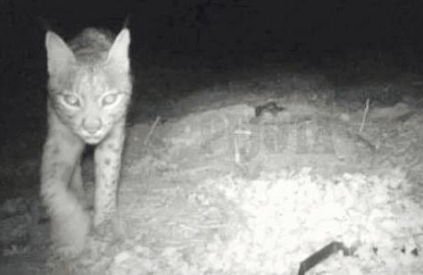 Observen un exemplar jove de linx ibèric a Ontinyent El Periòdic d'Ontinyent