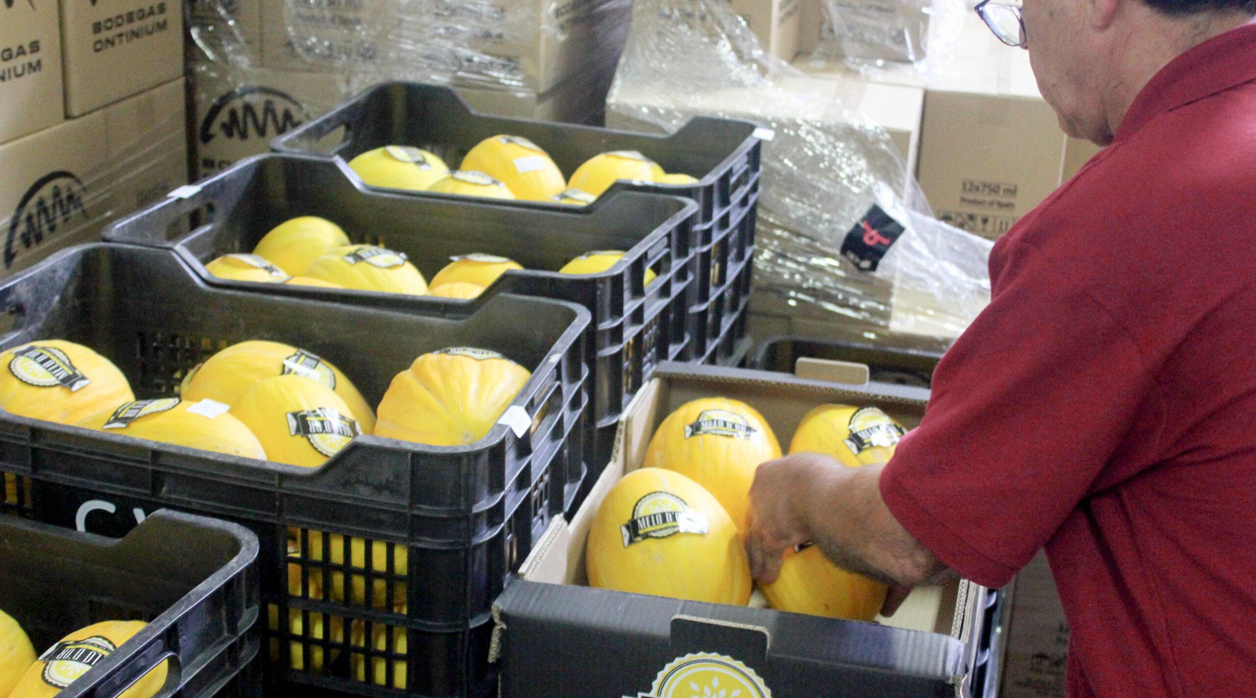Arranca la campanya del Meló d'Or El Periòdic d'Ontinyent