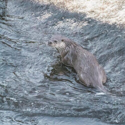 L'Arrel estudia les llúdries als rius amb fototrampeig