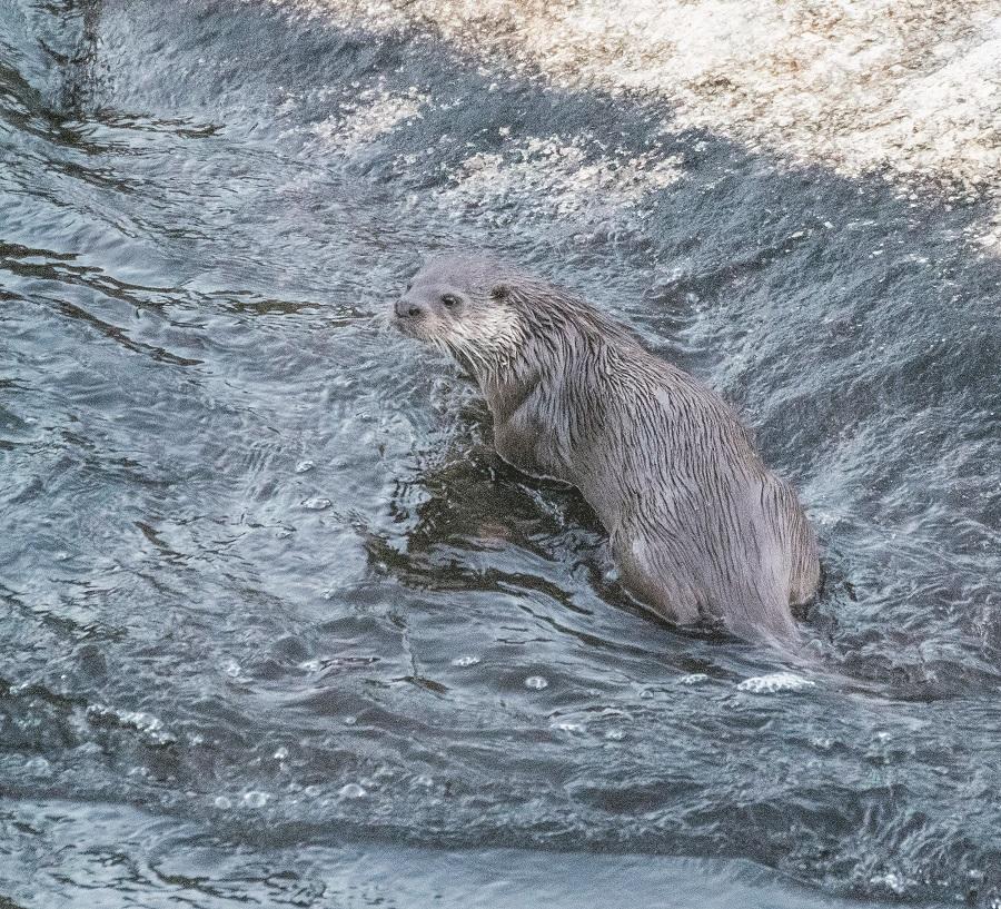 L'Arrel estudia les llúdries als rius amb fototrampeig El Periòdic d'Ontinyent - Noticies a Ontinyent