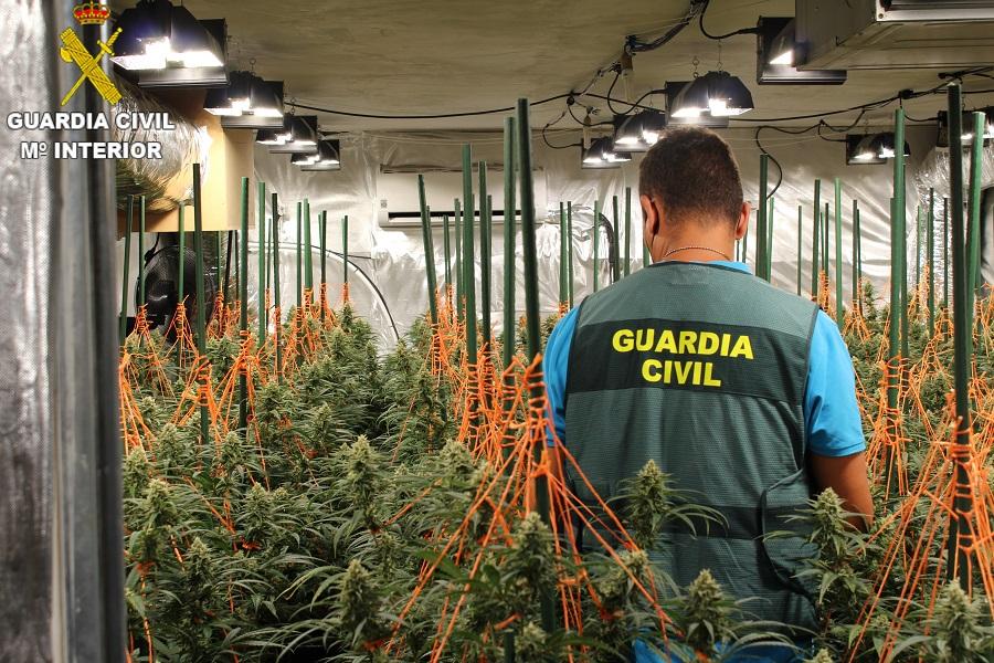 La Guàrdia Civil deté a un home a Agullent i confisca 230 plantes de marihuana El Periòdic d'Ontinyent - Noticies a Ontinyent